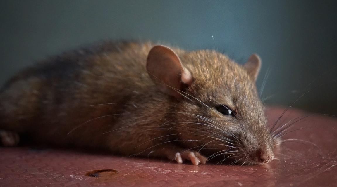 Råttor naturligt i 100 år gammalt hus