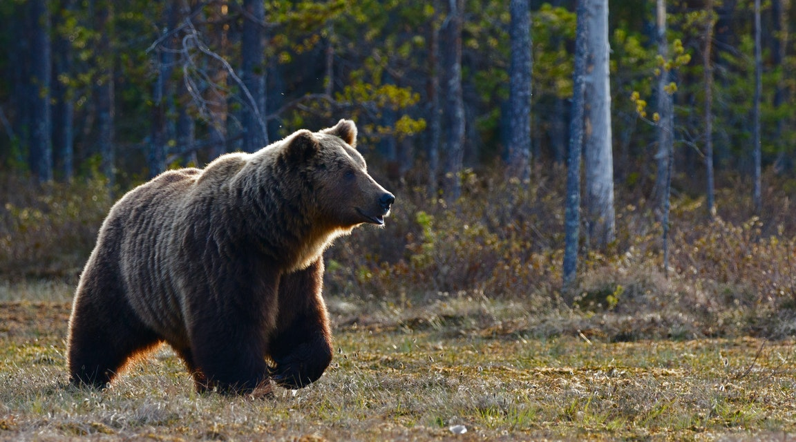 Sköt två björnar – får behålla vapen